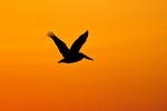 Brown Pelican (Pelecanus occidentalis) silhouette in sunset