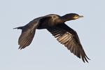 Double-crested Cormorant (Phalacrocorax auritus) adult bird in flight