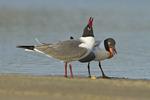 Laughing Gull (Larus atricilla) pair bonding and mating