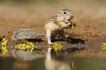 Mexican Ground Squirrel (Spermophilus mexicanus) eating blooms of Palo Verde tree, s. Texas