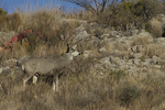 Mule Deer (Ococoileus hemionus) in west Texas