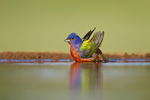 Painted Bunting (Passerina ciris) male drinking and bathing in freshwater habitat, Hidalgo Co., Texas, USA