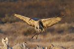 Sandhill Crane (Grus canadensis) landing, Bosque del Apache National Wildlife Refuge, New Mexico