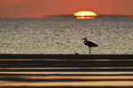 Great Blue Heron (Ardea herodias) on beach at sunset, Texas