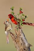 Northern Cardinal (Cardinalis cardinalis) male and female bonding