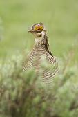 Lesser Prairie-chicken (Tympanuchus pallidicinctus) on lek