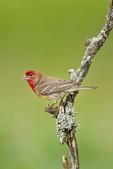 House Finch (Carpodacus mexicanus) male perched in wild buckeye, Block Creek Natural Area, Texas