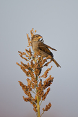 House Sparrow (Passer domesticus) female perched on grain sorghum seeds