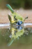 Green Jay (Cyanocorax yncas) drinking/bathing, s. Texas