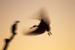 Roseate Spoonbill, Ajaia ajaja, High Island rookery, blurred silhouette, landing