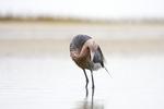 Reddish Egret, Egretta rufescens, Bolivar Flats, Texas gulf coast, fishing in soft light,
