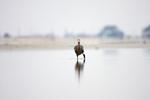 Reddish Egret, Egretta rufescens, Bolivar Flats, Texas gulf coast, fishing in soft light, leg raised
