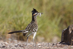 Greater Roadrunner (Geococcyx californianus) with prey for babies at nest, Texas, USA