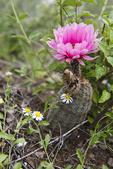 Hedgehog Cactus (Echinocerus sp.) in bloom, south Texas