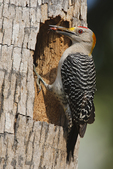 Golden-fronted Woodpecker (Melanerpes aurifrons) at nest cavity