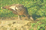 Hen wild turkey drinking.