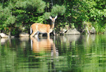 Female white-tail deer in Nelson Lake, Hayward, WI