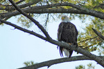 Bald eagle in tree, Nelson Lk, Hayward, WI