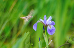 Hummingbird moth, white-lined sphinx, hovering by wild iris, Hayward, WI