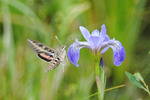 Hummingbird moth, white-lined sphinx, by wild iris, Hayward, WI