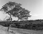 Texas, Blanco County, Foster Ranch (private land), Lone red oak tree and grasses on hill in last light
