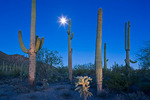Arizona, Saguaro National Park, Tucson Mountains, west unit, saguaro cacti with moon at dusk