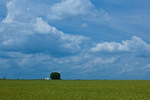 Mississippi, Monroe County, wheat fields along MS Highway 8