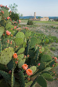 Texas, Fort Lancaster State Historic Site, fort ruins with wildflowers: prickly pear cactus (Opuntia sp.)