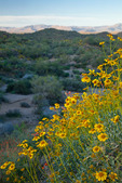 Arizona, Tonto National Forest, wildflowers: brittlebush (Encelia farinosa)