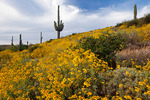 Arizona, Tonto National Forest, Saguaro Lake area, wildflowers: brittlebush (Encelia farinosa) and saguaro cactus