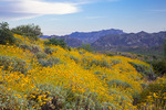 Arizona, Tonto National Forest, Saguaro Lake area, wildflowers: brittlebush (Encelia farinosa)