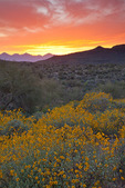 Arizona, Tonto National Forest, Saguaro Lake area, wildflowers: brittlebush (Encelia farinosa), sunset over distant McDowell Mountains