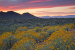 Arizona, Tonto National Forest, Saguaro Lake area, wildflowers: brittlebush (Encelia farinosa), sunset