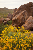 Arizona, Tonto National Forest, Usery Pass area, wildflowers: brittlebush (Encelia farinosa)
