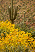 Arizona, Tonto National Monument, wildflowers: brittlebush (Encelia farinosa) and saguaro cactus