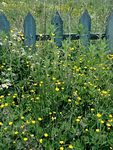 Picket Fence with Wildflowers