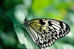 Rice Paper Butterfly (Idea leuconoe)