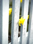 Daffodil through White Picket Fence