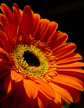Gerbera L., is a genus of ornamental plants from the sunflower family (Asteraceae). It was named in honor of the German naturalist Traugott Gerber, a friend of Carolus Linnaeus...It has approximately 30 species in the wild, extending to South America, Africa, Madagascar, and tropical Asia. The first scientific description of a Gerbera was made by J.D. Hooker in Curtis Botanical Magazine in 1889 when he described Gerbera jamesonii, a South African species also known as Transvaal daisy or Barberton Daisy...Gerbera species bear a large capitulum with striking, 2-lipped ray florets in yellow, orange, white, pink or red colors. The capitulum, which has the appearance of a single flower, is actually composed of hundreds of individual flowers. The morphology of the flowers varies depending on their position in the capitulum...Gerbera is very popular and widely used as a decorative garden plant or as cut flowers. The domesticated cultivars are mostly a result of a cross between Gerbera jamesonii and another South African species Gerbera viridifolia. The cross is known as Gerbera hybrida. Thousands of cultivars exist. They vary greatly in shape and size. Colors include white, yellow, orange, red, and pink. The center of the flower is sometimes black. Often the same flower can have petals of several different colors...Gerbera is commercially important. It is the fifth most used cut flower in the world It is also used as a model organism in studying flower formation. Gerbera contains naturally occurring coumarin derivatives...Wikipedia