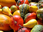 Autumn brings a colorful harvest of Ornamental Gourds & Pumpkins from a home garden which will last into the deepest winter.