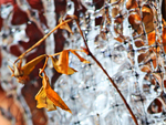 Frozen Ice on Rose Bush Netting as Backdrop to Autumn Remnant Rose Leaves IMG_0051  This week, dripping water off the roof fell onto my perennial memory garden created for Jed-Boy Wonder last summer after his death, after he had guarded all of our living plants from the deer and forest wildlife with great energy and love, as only a devoted German Shepherd can do!  The rosebushes formed an icicle palette of pattern, shining in morning sunlight to create a backdrop for the solitary leaves, still clinging to a delicate branch -- rather like my memories of Jeddy -- nostalgic and beautiful.  