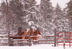 Horses brave many environments, and snow is a regular event in the Northern United States.  These four are all related: two sisters and their two grown foals, so they often mirror each other and except for their colors, look remarkably alike.  Registered American Quarterhorse breed, they live a comfortable life in their rural wilderness home.