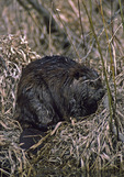 A Beaver rests on shore.
