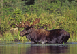 A bull Moose feeds in the water near shore.