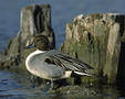 A Northern Pintail rests at a stump in the water.