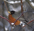 A Robin tries to stay warm while perching on a snowy branch.