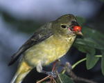 Scarlet Tanager with mountainash berry