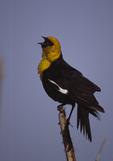 A Yellow-headed Blackbird sings as it perches on a cattail stalk.   1621-4 drive 2