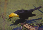 A Yellow-headed Blackbird comes down to the water.  2743-23 drive 2
