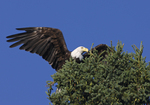 A Bald Eagle perches in an evergreen tree.  8787 drive 6
